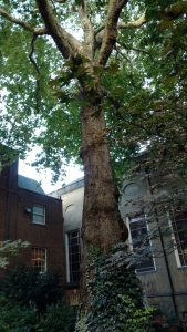 The plane tree at Stationer's Hall, London
